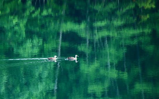 翠嵐の中を悠々と泳ぐカモ2羽