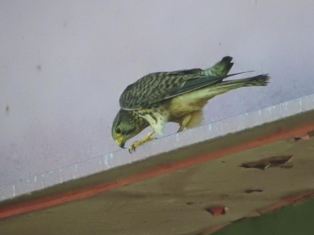 チョウゲンボウDSCN1819