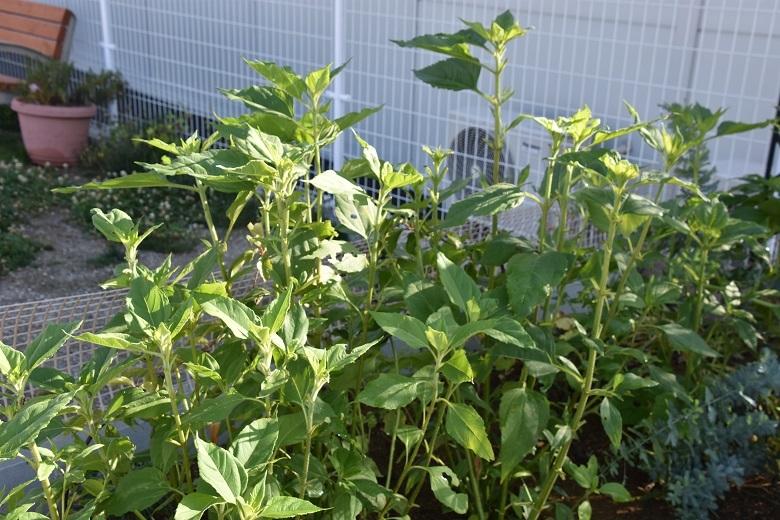 137 菊芋の葉