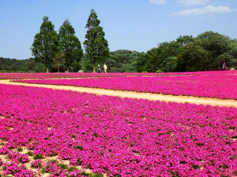 900花の世羅町P5070080