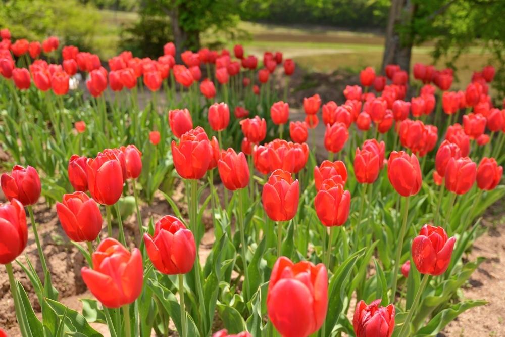 1000花の世羅町DSC_8733