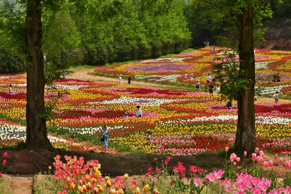 1000花の世羅町DSC_8759