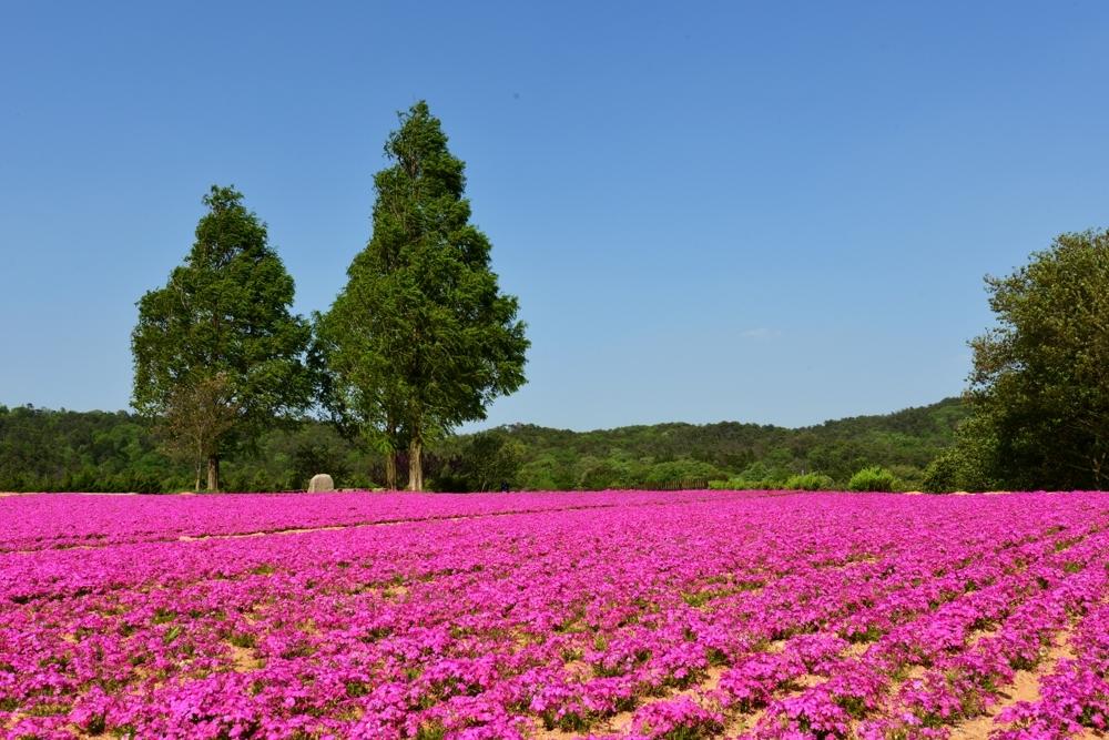 1000花の世羅町DSC_8803