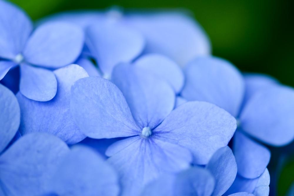 29626 ブログあじさいの花ー3-1