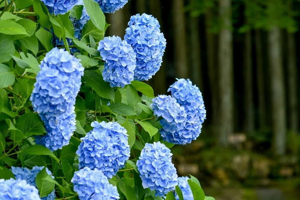 29626 ブログあじさいの花ー2-1