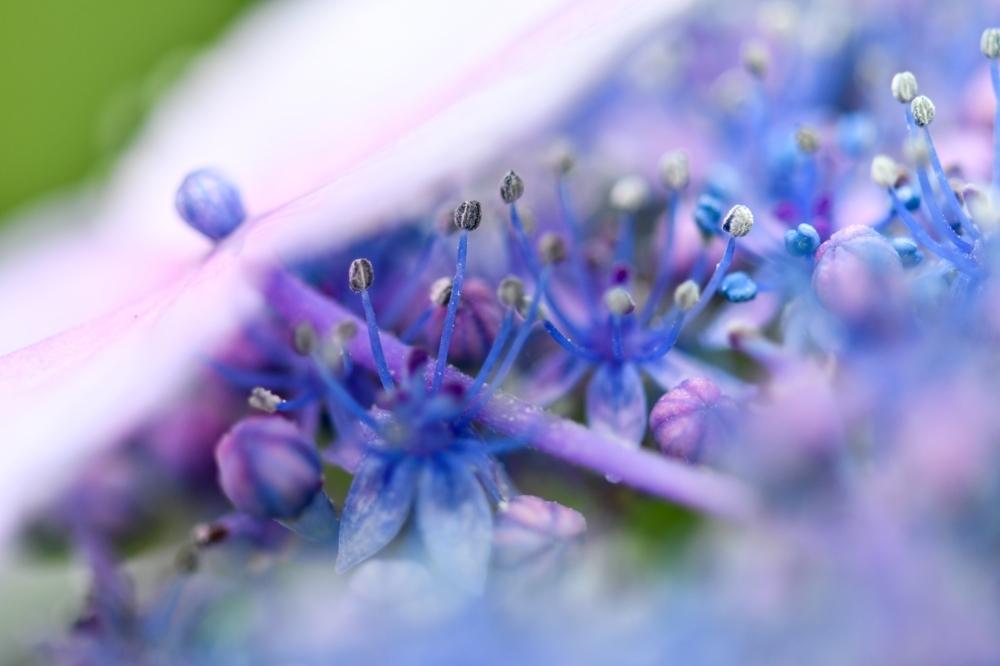 29626 ブログあじさいの花ー8-1