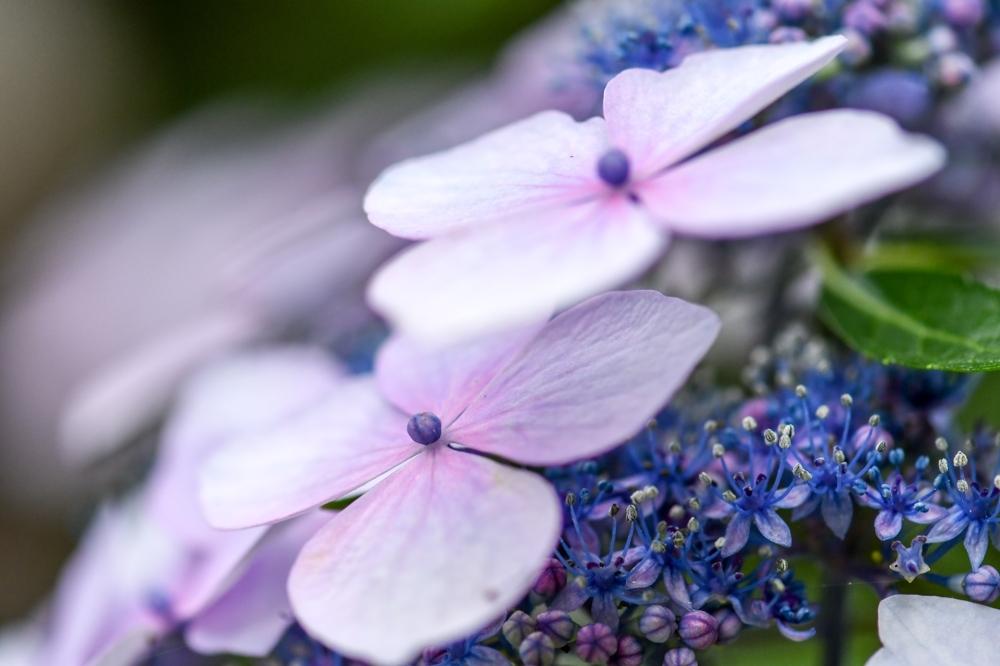 29626 ブログあじさいの花ー9-1