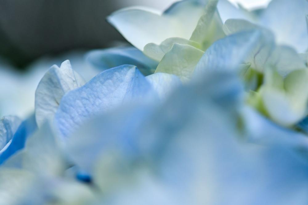 29626 ブログあじさいの花ー11-1