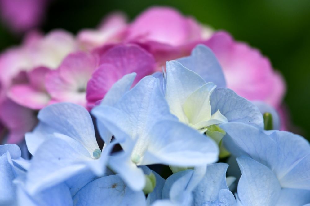 29626 ブログあじさいの花ー13-1