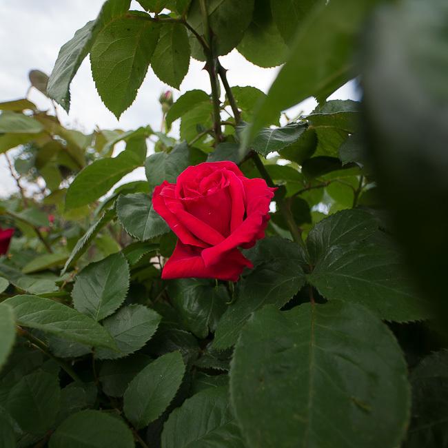 敷島薔薇-1