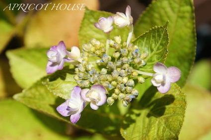 170602紫陽花