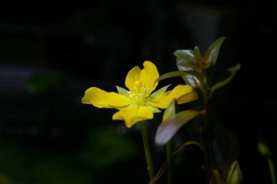 ルドインクリナータの花