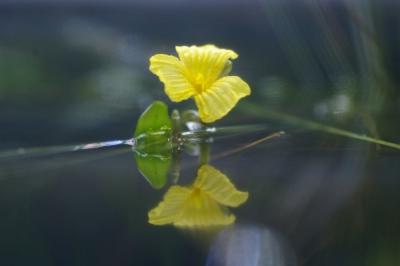 アフリカンオテリアの花