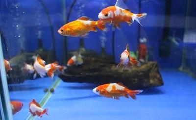 金魚0523