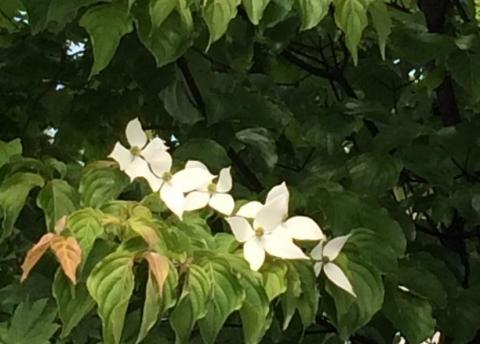 2017-06-06 ヤマボウシ