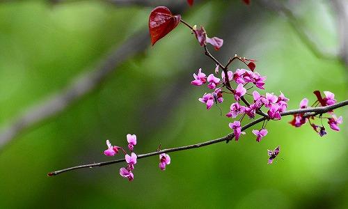 s-ピンクの花20170501