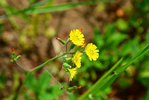 s-黄色の花20170507