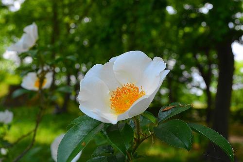 s-白い花20170507