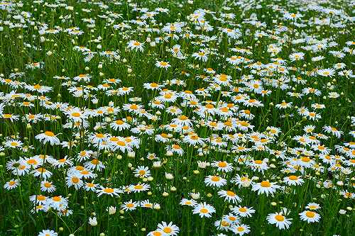 s-白い花群20170507