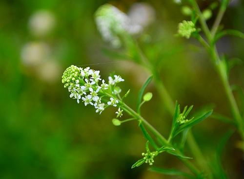 s-白い花20170514