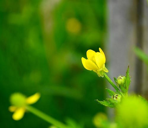 s-黄色の花20170514