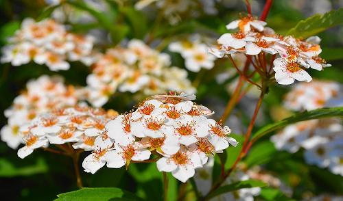 s-白い花20170521