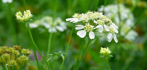 s-白い花20170527
