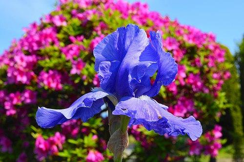 s-紫の花20170521