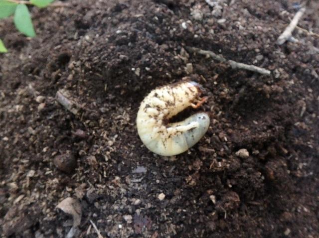 カブトムシ終礼幼虫