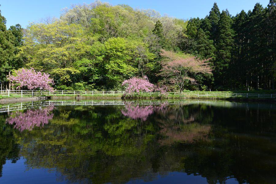八重桜 合せ鏡-3