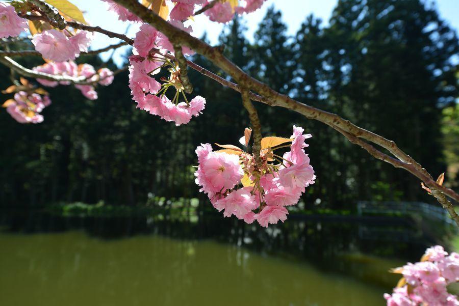 八重桜-8