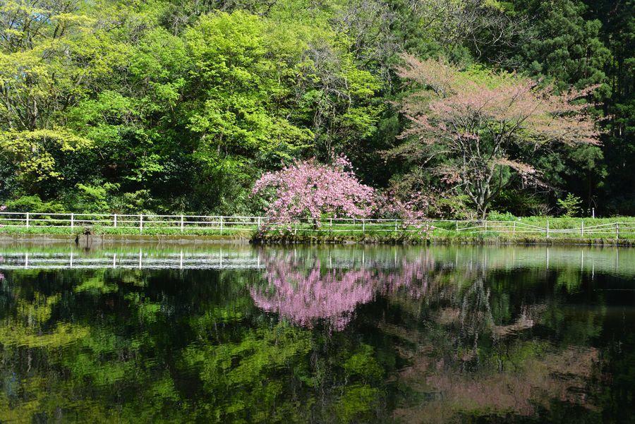 八重桜 合せ鏡-4