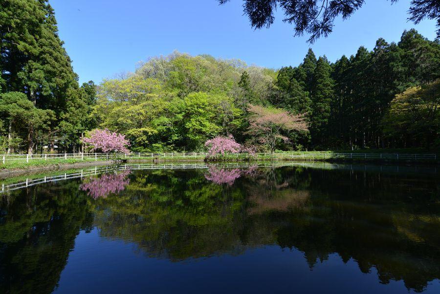 八重桜 合せ鏡-1
