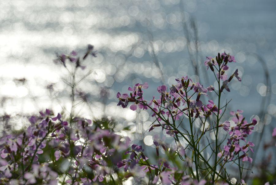 ハマダイコンの花-4