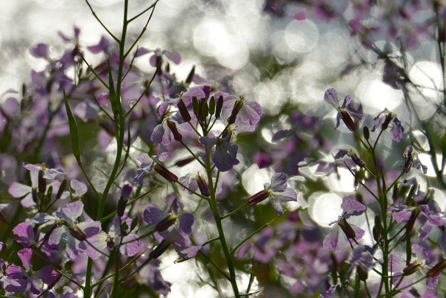 ハマダイコンの花-6