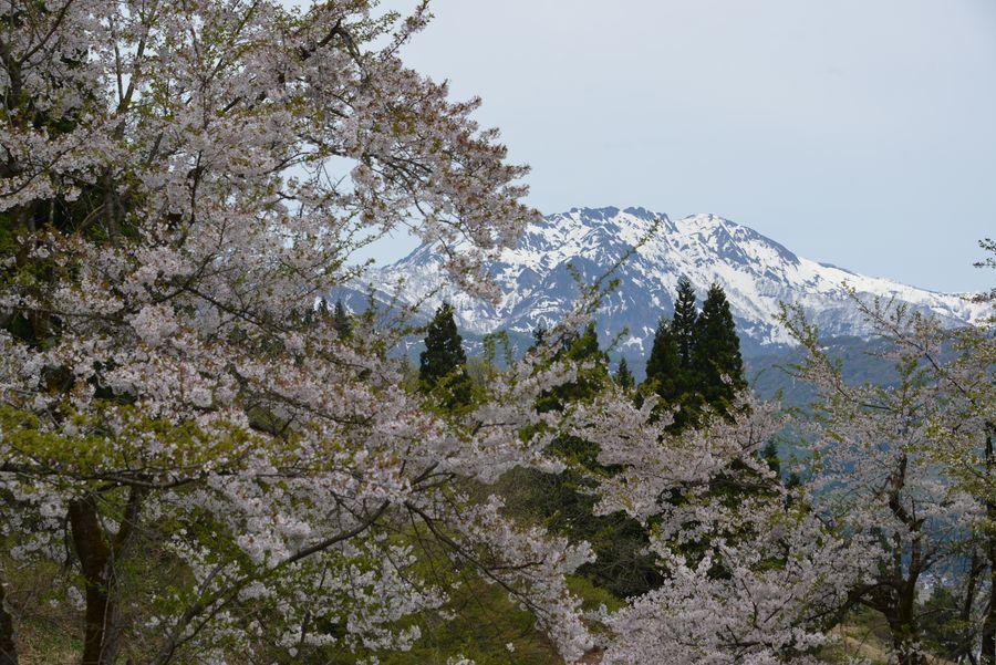 魚沼の桜も終わり-1