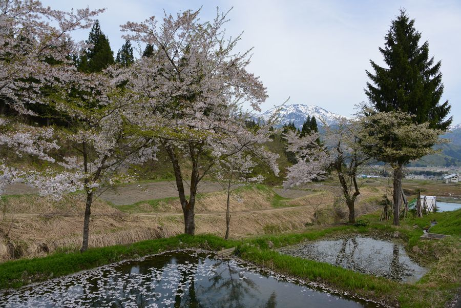 魚沼の桜も終わり-2