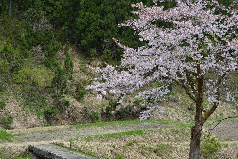 魚沼の桜も終わり-3