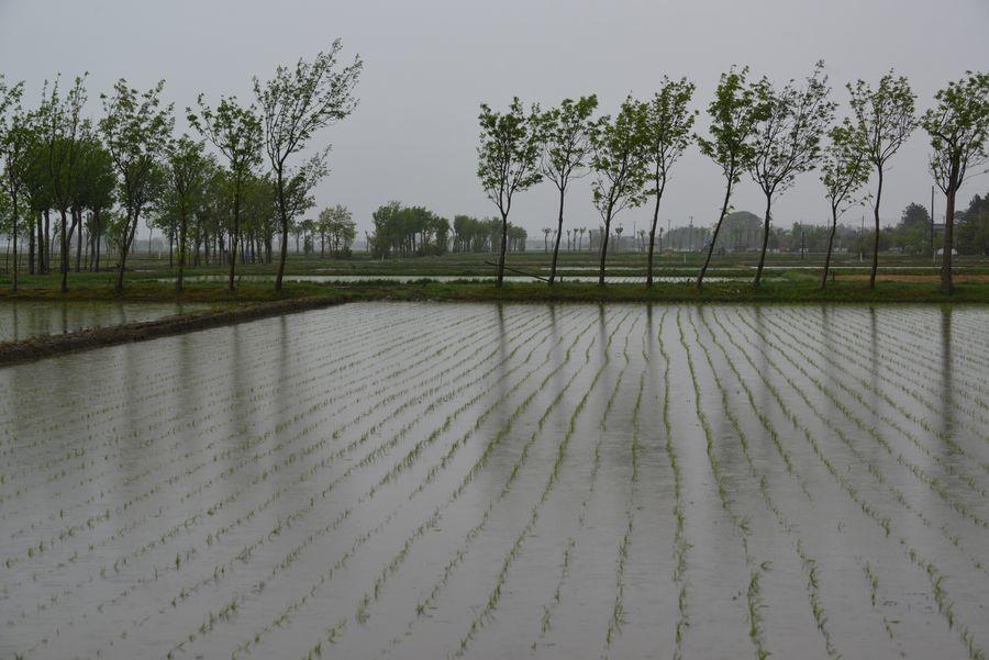 雨の水田-4