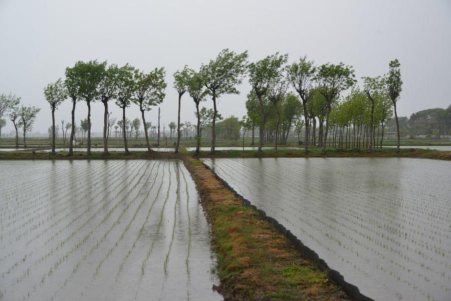 雨の水田-5