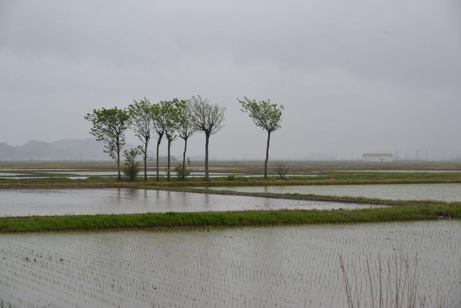 雨の水田-1