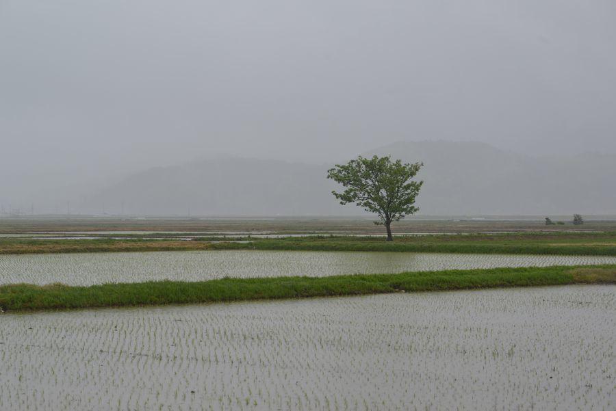 雨の水田-2