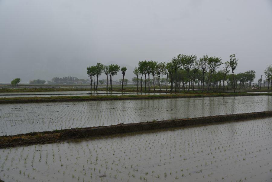 雨の水田-3