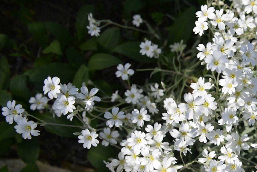 カーブドッチの白い花-5