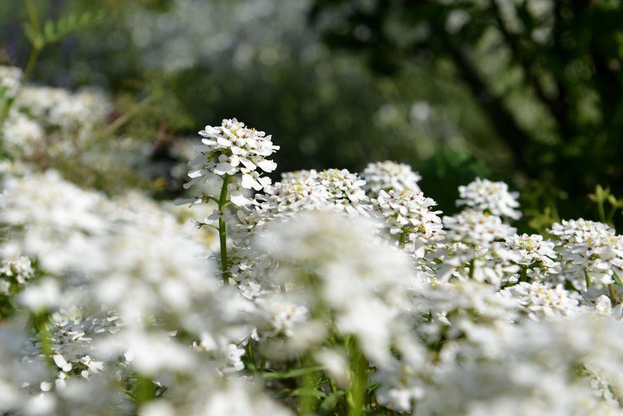 カーブドッチの白い花-6