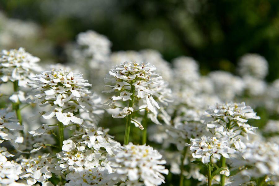 カーブドッチの白い花-7