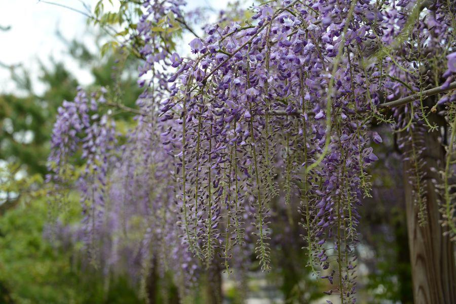 連休の花たち-4