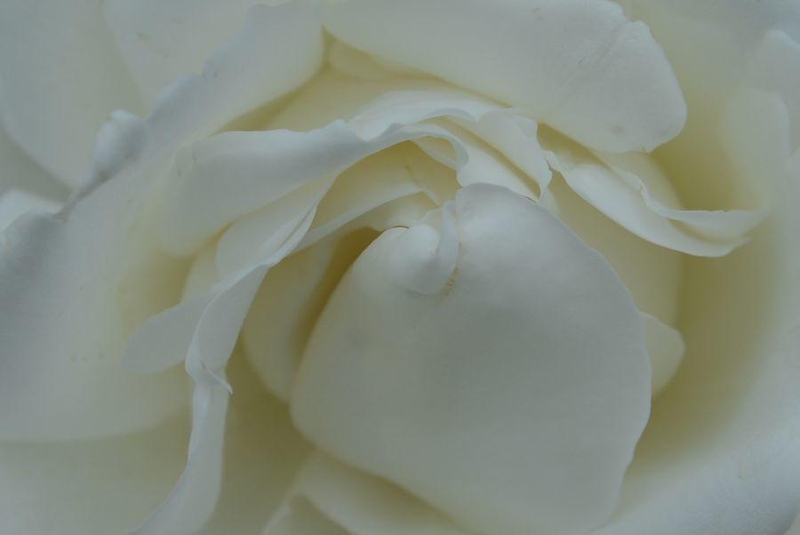 薔薇、薔薇-1