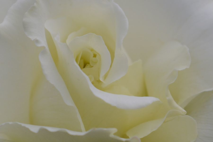 薔薇、薔薇-5