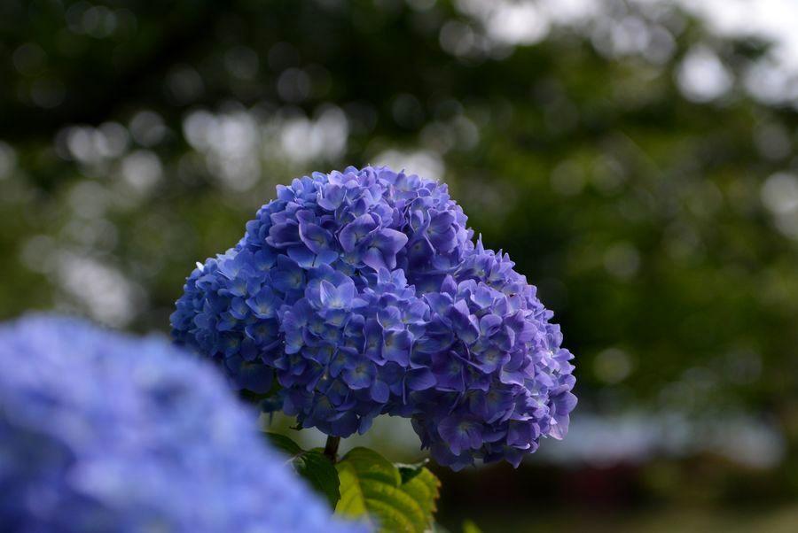 初 紫陽花-7